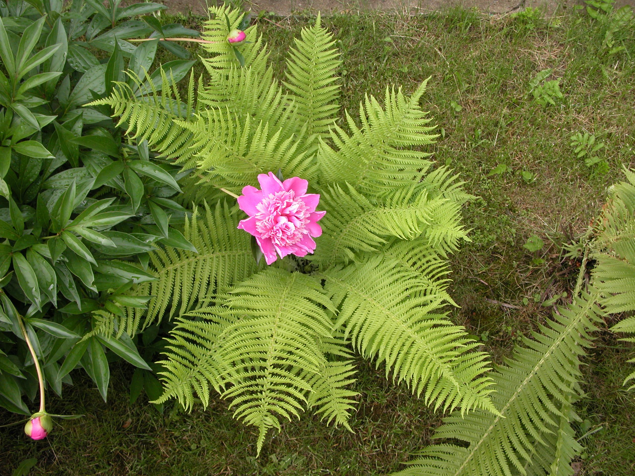 папоротник цветущий фото